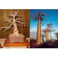 Семена Baobab (Баобаб)
