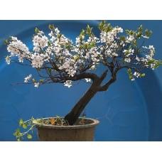 Семена Cherry Santa Lucia (Вишня Санта Лючия)