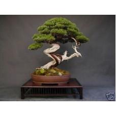 Семена Chinese Juniper (Китайский Можжевельник)