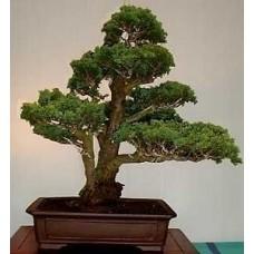 Семена Cypress Lawson (Кипарис Лоусон)
