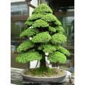 Семена Japanese Cedar (Японский Кедр)