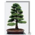 Семена Japanese Cypress (Японский Кипарис)