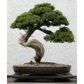Семена Japanese Red Pine (Японская Красная Сосна)