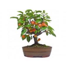 Семена Malus Baccata (Яблоня Ягодная)