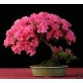 Семена Pink Rhododendron (Розовый Рододендрон)