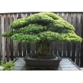 Семена Pinus Halepensis (Сосна Алеппская)