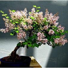 Семена Syringa Villosa (Сирень Мохнатый)