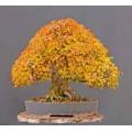Семена Trident Maple (Клен Тризубий)