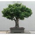Семена Zelkova Serrata (Дзельква Японская)