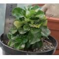 Растение Адениум (Adenium) Obesum MINI SIZE MIX