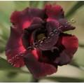 Привитое растение Адениум (Adenium) Obesum DOUBLE BLACK KING