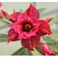 Привитое растение Адениум (Adenium) Obesum DOUBLE TOURMALINE