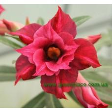 Привитое растение Адениум Тучный DOUBLE TOURMALINE