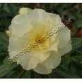 Привитое растение Адениум (Adenium) Obesum TRIPLE GOLD RUSH