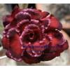 Прищеплена рослина Аденіум (Adenium) Obesum QUATRO MAJESTY