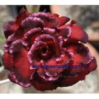 Привитое растение Адениум (Adenium) Obesum QUATRO MAJESTY