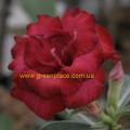 Прищеплена рослина Аденіум (Adenium) Obesum QUATRO ORIENTAL ROSE
