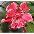 Привитое растение Адениум (Adenium) Obesum TRIPLE ANGEL
