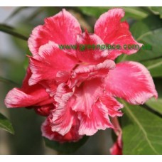 Привитое растение Адениум Тучный TRIPLE ANGEL
