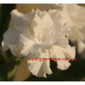Прищеплена рослина Аденіум (Adenium) Obesum TRIPLE SNOW WHITE