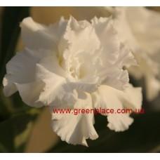 Привитое растение Адениум Тучный TRIPLE SNOW WHITE