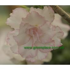 Прищеплена рослина Аденіум Тучний TRIPLE SWEET VALENTINE