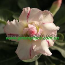 Прищеплена рослина Аденіум Тучний DOUBLE AMBER ROMANCE