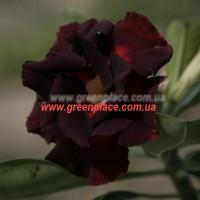 Прищеплена рослина Аденіум (Adenium) Obesum DOUBLE BLACK SWAN