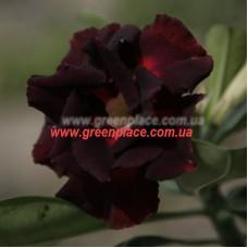 Прищеплена рослина Аденіум Тучний DOUBLE BLACK SWAN
