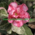 Прищеплена рослина Аденіум (Adenium) Obesum DOUBLE VRGT 1