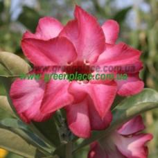 Привитое растение Адениум Тучный D2