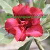 Привитое растение Адениум (Adenium) Obesum D3