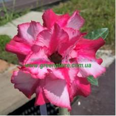 Привитое растение Адениум Тучный D3