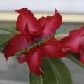 Привитое растение Адениум (Adenium) Obesum D4