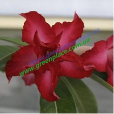 Привитое растение Адениум Тучный D4