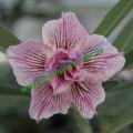Привитое растение Адениум (Adenium) Obesum D5