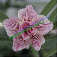 Привитое растение Адениум Тучный D5