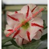 Прищеплена рослина Аденіум (Adenium) Obesum D6