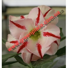 Привитое растение Адениум Тучный D6