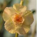 Привитое растение Адениум (Adenium) Obesum TRIPLE KING PURE YELLOW