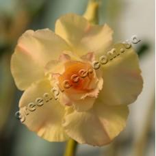 Привитое растение Адениум Тучный TRIPLE KING PURE YELLOW