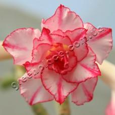 Привитое растение Адениум Тучный TRIPLE KING STRIPES