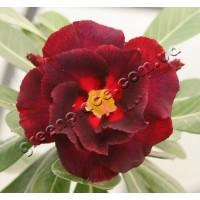 Привитое растение Адениум (Adenium) Obesum DOUBLE BLACK SWAN