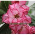 Прищеплена рослина Аденіум (Adenium) Obesum DOUBLE KING BLOSSOM