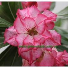 Привитое растение Адениум Тучный DOUBLE KING BLOSSOM