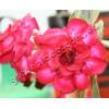 Прищеплена рослина Аденіум (Adenium) Obesum TRIPLE LADY BARBIE