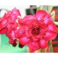 Привитое растение Адениум (Adenium) Obesum TRIPLE LADY BARBIE