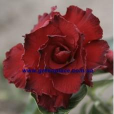 Привитое растение Адениум Тучный TRIPLE BLACK BEAUTY