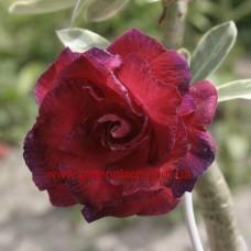 Привитое растение Адениум Тучный TRIPLE KING VRGT 2