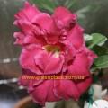 Прищеплена рослина Аденіум (Adenium) Obesum TRIPLE DARK PURPLE